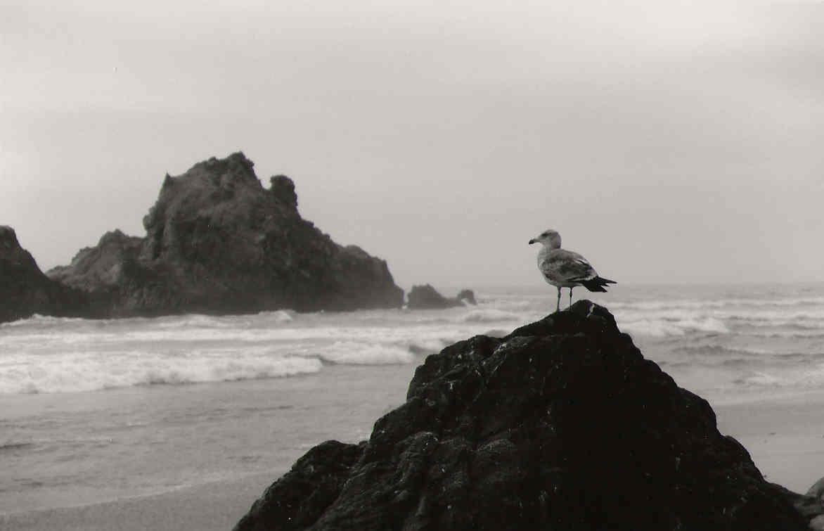 black white seagull