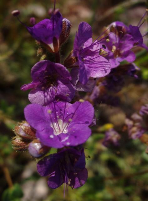 Ca Wildflowers Desert